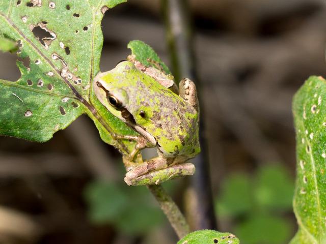 日本雨蛙6