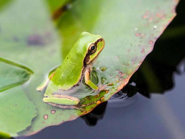 日本雨蛙43
