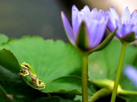 日本雨蛙3