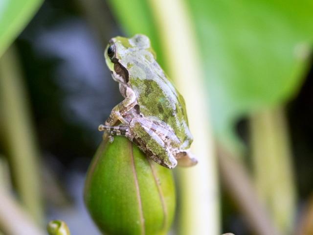 日本雨蛙4