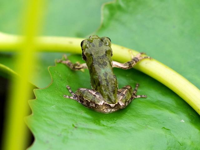 日本雨蛙47