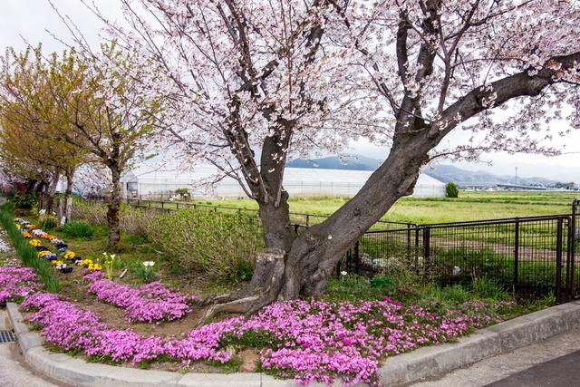 古川の桜並木2