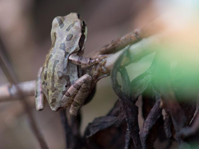 日本雨蛙20