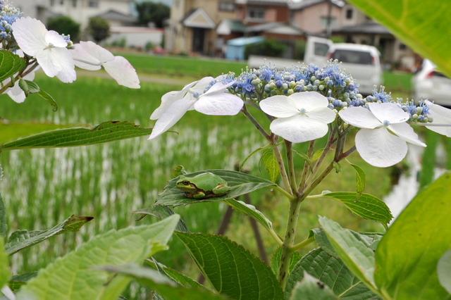 日本雨蛙66