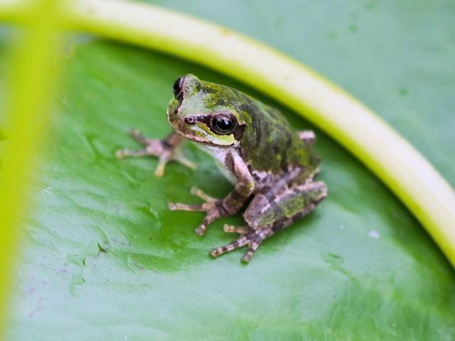 日本雨蛙52