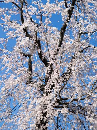 今泉名水桜公園5