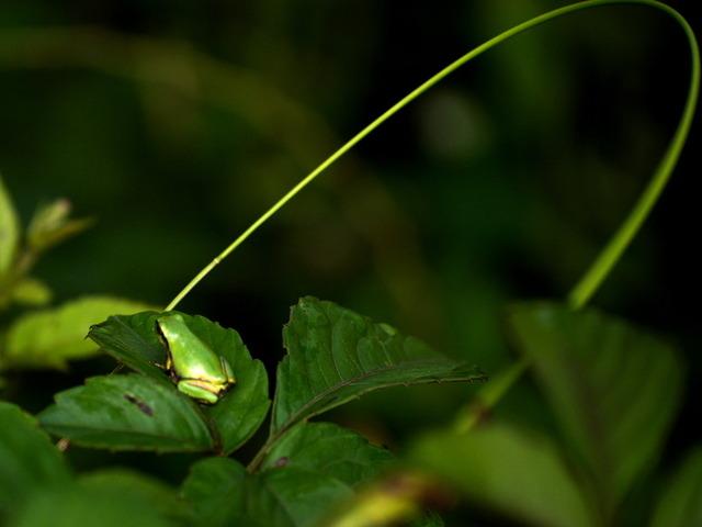 日本雨蛙37
