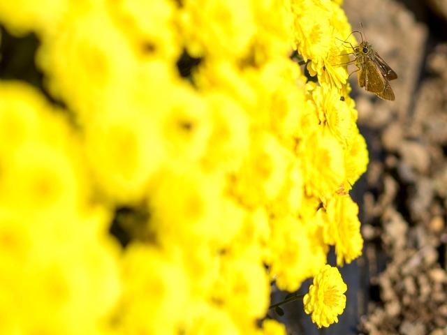 厚木飯山ざる菊12