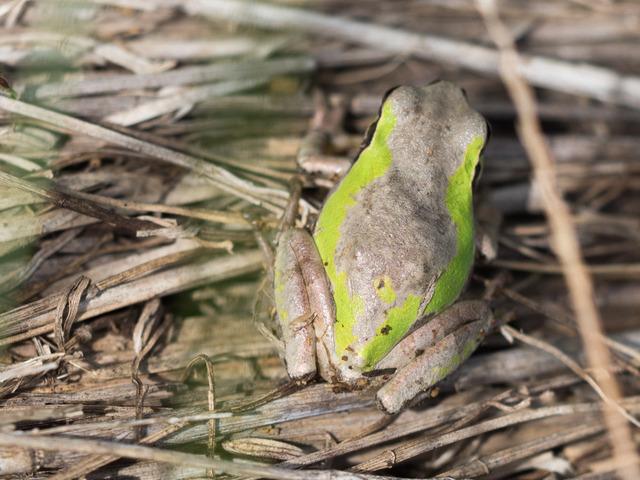日本雨蛙76