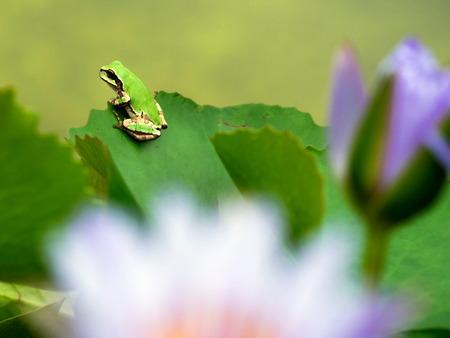 日本雨蛙11