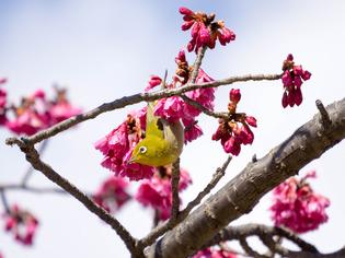 寒桜とメジロ8