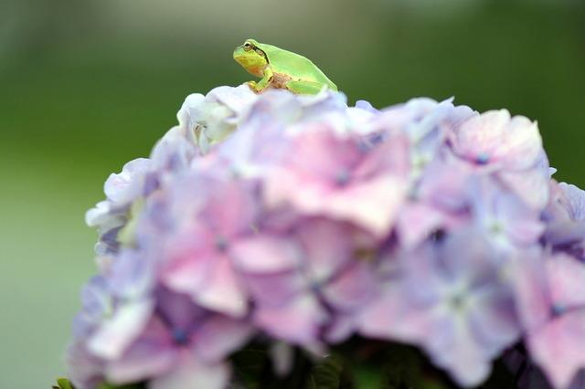 日本雨蛙36