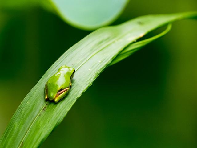 日本雨蛙72