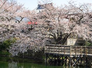 今泉名水桜公園2