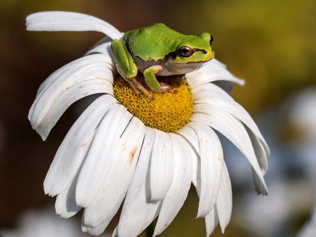 日本雨蛙21