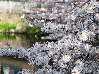 今泉名水桜公園6