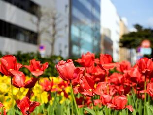 YP・tulip18