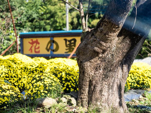 厚木飯山ざる菊28