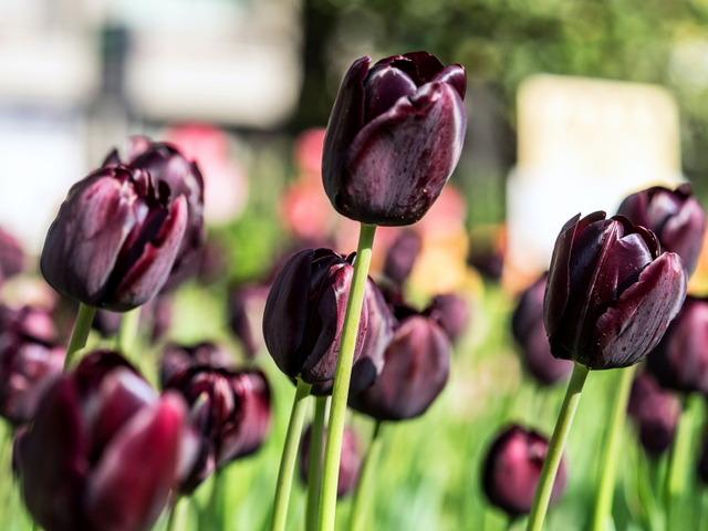 YP・tulip21