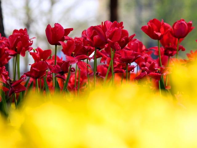 YP・tulip8