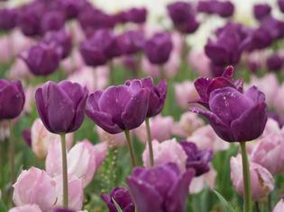 花菜ガーデン26