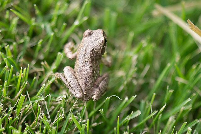 日本雨蛙65