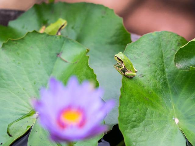 日本雨蛙27