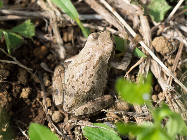 日本雨蛙58