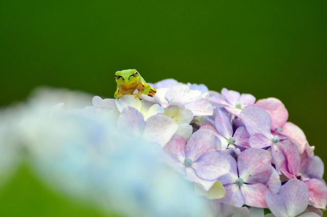 日本雨蛙61