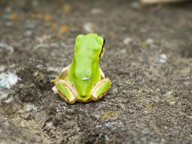 日本雨蛙67