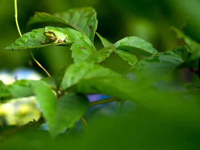 日本雨蛙93