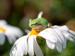 日本雨蛙2