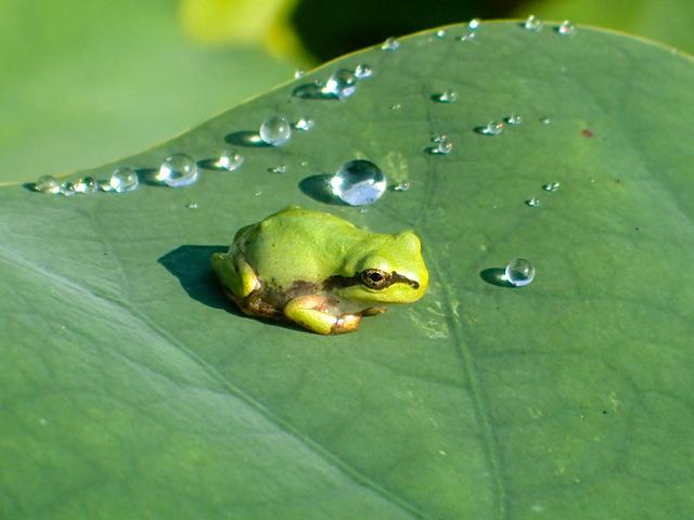 日本雨蛙16