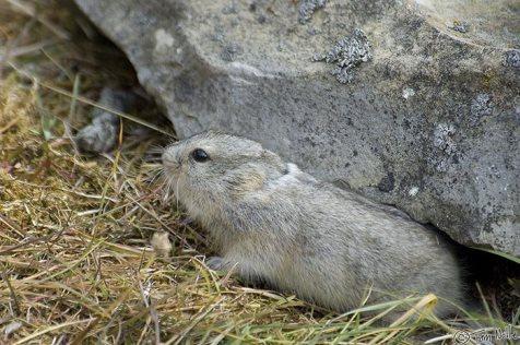 Arctic-lemming-devon-island