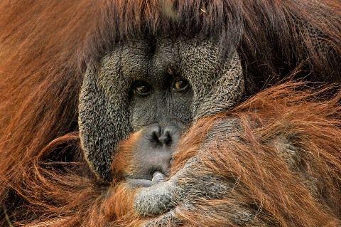 orangutan-571462_960_720