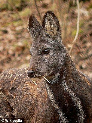 1415036154118_Image_galleryImage_Vampire_Fanged_Deer_Disco