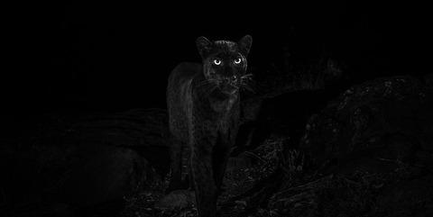 _105630770_willbl-black-leopard-6