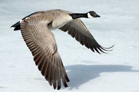 1024px-Canada-Goose-Szmurlo