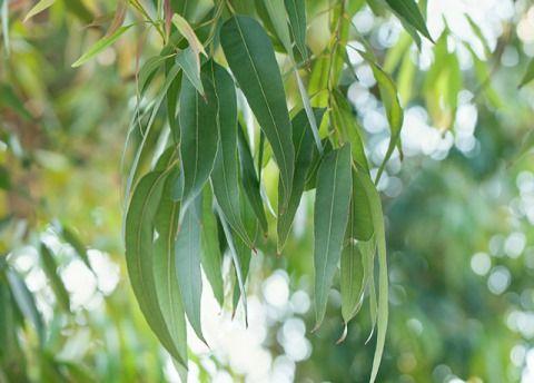 Eucalyptus-leaves