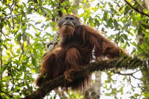 01-tapanuli-orangutan-ba