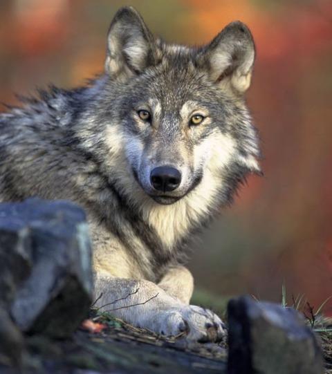 wolf_03