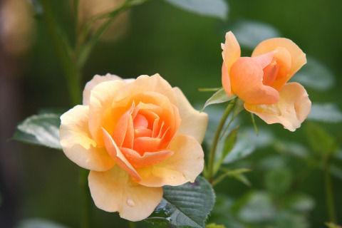 rose-616013_1280
