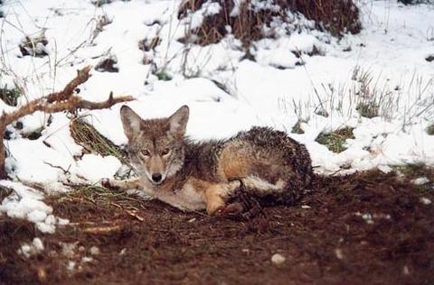 coyote980x