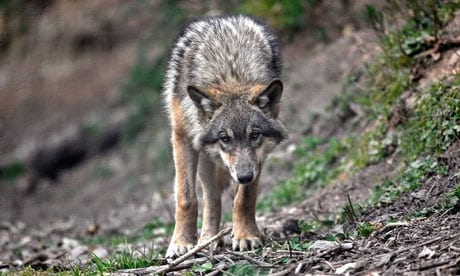 france-wolf-conservation-008