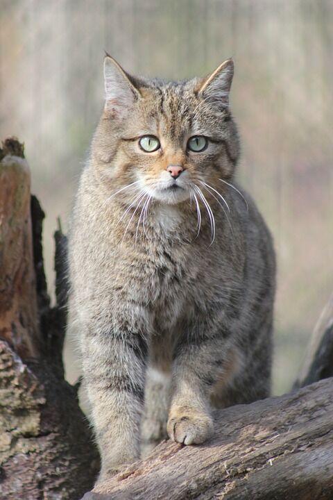 wildcat-4367322_960_720
