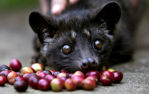civet-coffee-1-696x441