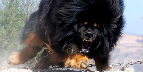 tibetan-mastiff-facts-cover-1