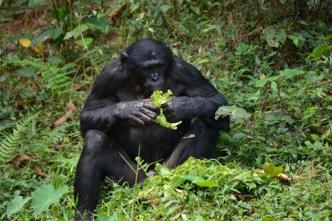 bonobo-2139563_1280
