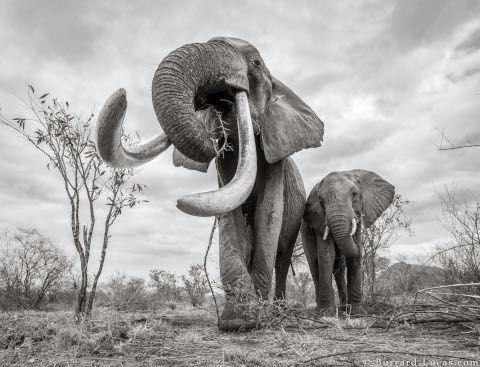 will-burrard-lucas-elephant-queen-4