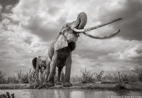 will-burrard-lucas-elephant-queen-5